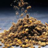 画像:黄金麹菌